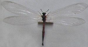 Tīklspārņi ir vidēji lieli vai... Autors: fcsanok Latvijas aizsargājamie dzīvnieki. (Kukaiņi)