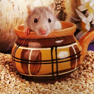 MĀJAS PELENo peles parastās... Autors: augsina Jūs par zaķiem,mēs par pelēm.