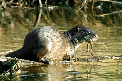 Autors: SparroW Gada dzīvnieks 2010 - ūdrs