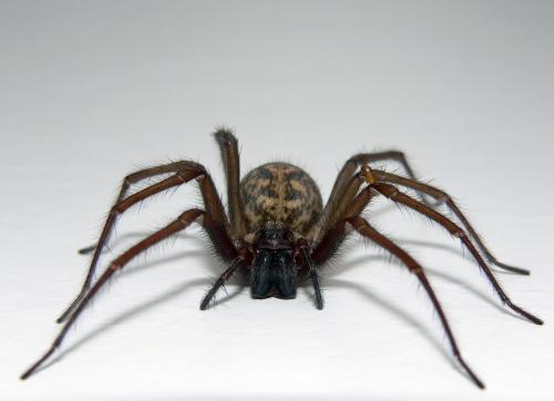 Par pasaulē vecāko zirnekli... Autors: KinDzaDza Apbrīnojami ilgdzīvotāji