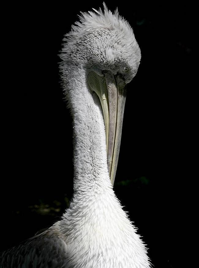 Pelikāns Schoenbrunn Zoo... Autors: KingOfTheSpokiLand 75 Pārsteidzošas dzīvnieku fotogrāfijas!