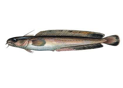 Jūras vēdzele Enchelyopus... Autors: Sperovs Latvijas zivis
