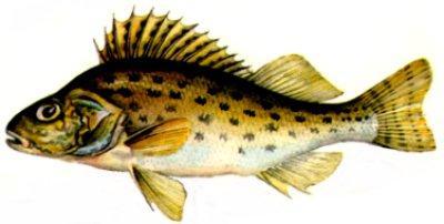 Ķīsis Gymnocephalus cernua... Autors: Sperovs Latvijas zivis