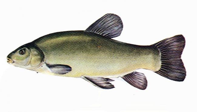 Līnis Tinca tinca Kūtra zivs... Autors: Sperovs Latvijas zivis