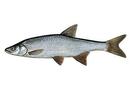 Salate Mežavimba Aspius aspius... Autors: Sperovs Latvijas zivis