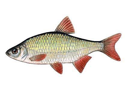 Rudulis Scardinius... Autors: Sperovs Latvijas zivis