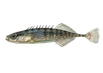 Deviņadatu stagars Pungitius... Autors: Sperovs Latvijas zivis