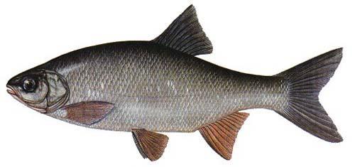 Ālants Orfa Leuciscus idus ... Autors: Sperovs Latvijas zivis