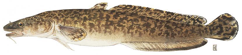 Vēdzele Lota lota Latvijā... Autors: Sperovs Latvijas zivis