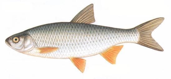 Baltais sapals Tulcis Teiba... Autors: Sperovs Latvijas zivis