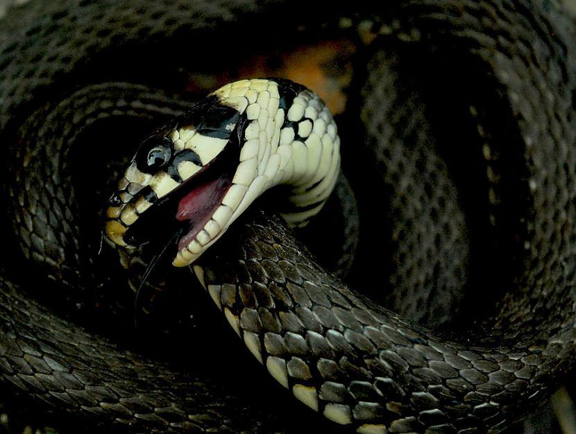 Čūskas Šī fobija tiek... Autors: Wicked Sick No kā Tu visvairāk baidies?