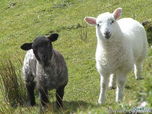 Autors: karote Sheep par prieku
