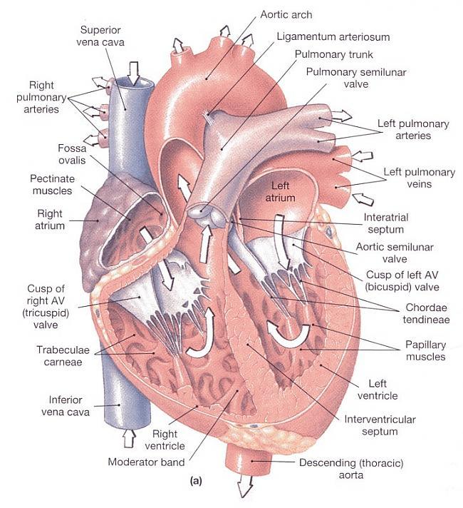 Sirds vienā minūtē izpumpē... Autors: Moonwalker Fakti par sirdi