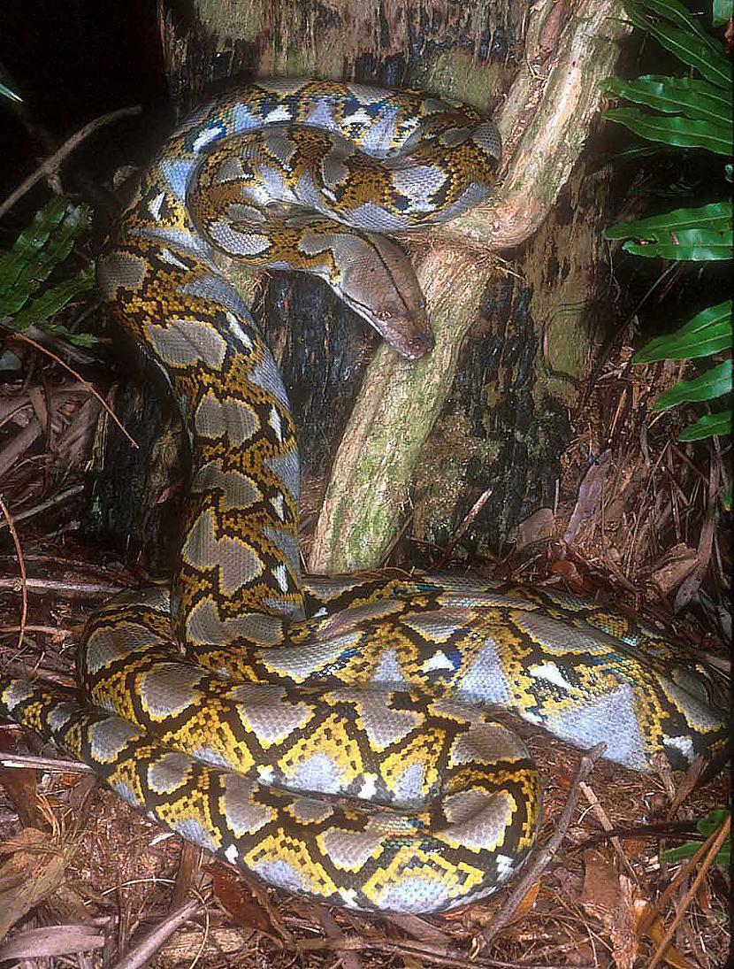 Visgarākā čūska ir tīklainais... Autors: Justas [Čūskas un Fakti]