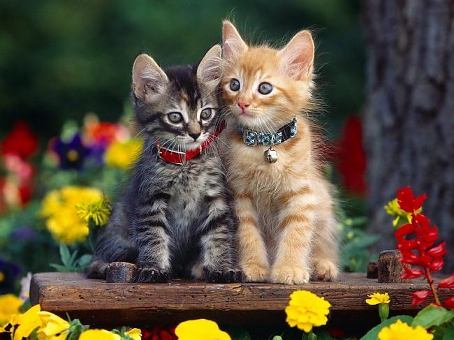 Tiek pieņemts ka pasaulē ir... Autors: Fosilija Fakti par kaķiem.