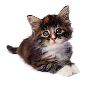 Mājas kaķiem vidējais mūža... Autors: Fosilija Fakti par kaķiem.