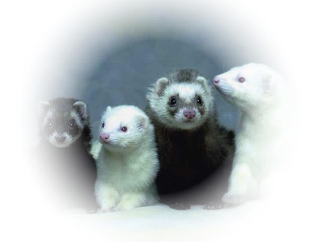 Ir pierādīts ka šis dzīvnieks... Autors: Fosilija Fakti par mājas seskiem jeb fretkām!