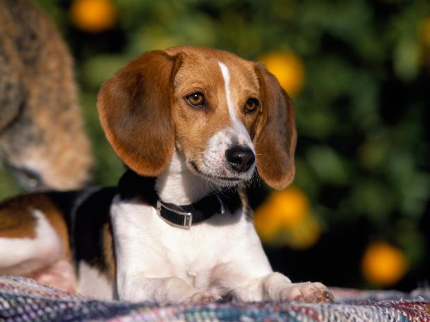 Katru gadu Amerikā dzimst... Autors: Evuxi Fakti par suņiem.