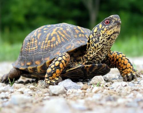 Bruņurupuči nespēj paelpot... Autors: Katchibaba Zināji?