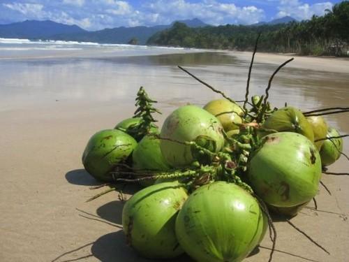 Jauno kokosriekstu šķidrumu... Autors: Katchibaba Zināji?