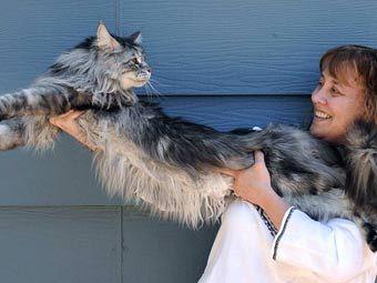 Šīs šķirnes kaķi tiek... Autors: reds Ginesa rekordu sasniedz pasaulē garākais kaķis