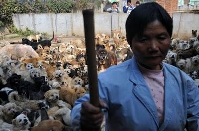 Ha Wenjina suņu mīļotāja no... Autors: Shanta Tiek glābti dzīvnieki Ķīnā un Japānā..