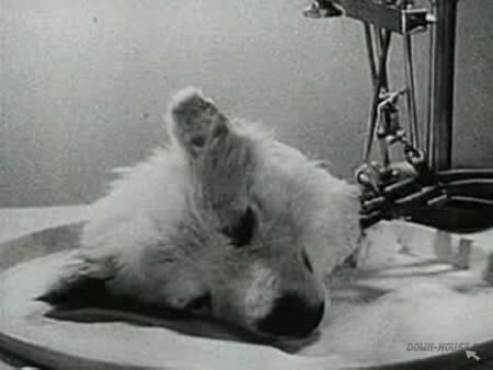 Atdalītā suņa galva Kas var... Autors: exe Dīvainākie eksperimenti pasaules vēsturē.