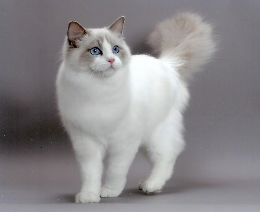 Bet lielāko kaķu suga ir... Autors: tavs kaimins Mīluļi :*