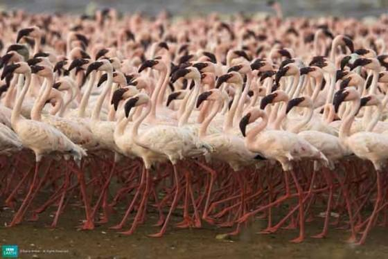 8FlamingoVai tu zināji ka rozā... Autors: Katchibaba Top 10 dabas visinteresantāk izkrāsotie dzīvnieki