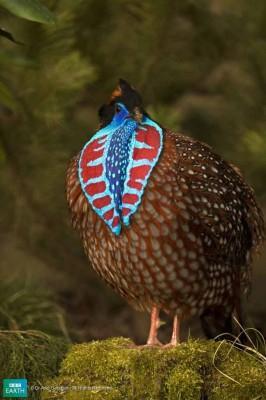 5Teminika fazānsŠis putns tiek... Autors: Katchibaba Top 10 dabas visinteresantāk izkrāsotie dzīvnieki