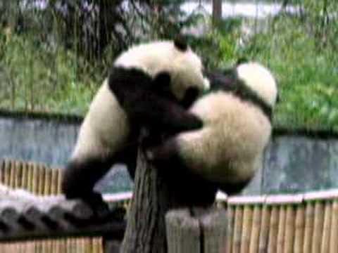 Kļuvu par skarbo veci un... Autors: vilx2 Pandas dzīvestāsts