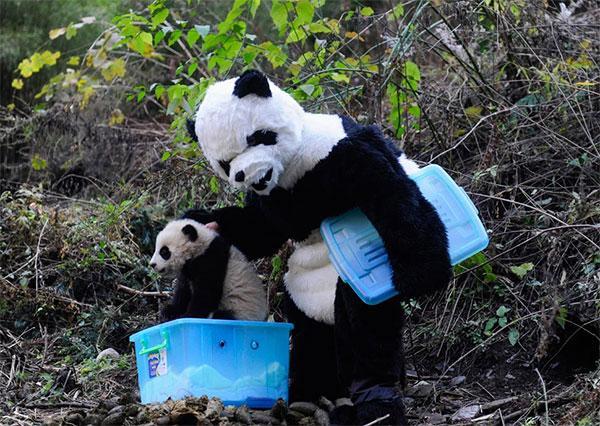 Bet tas netraucēja man dzīvot... Autors: vilx2 Pandas dzīvestāsts