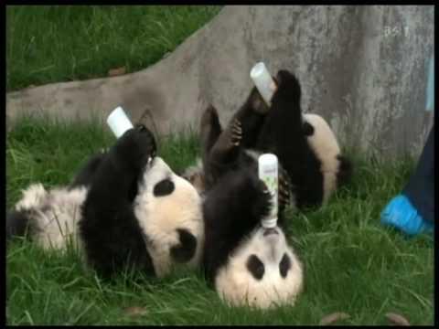 Arī ar draugiem reizēm mīlējām... Autors: vilx2 Pandas dzīvestāsts