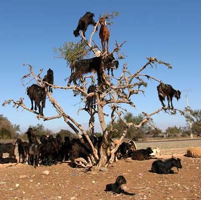 Marokas koku kazasKazas kokos... Autors: PRESS Dabas fenomeni.