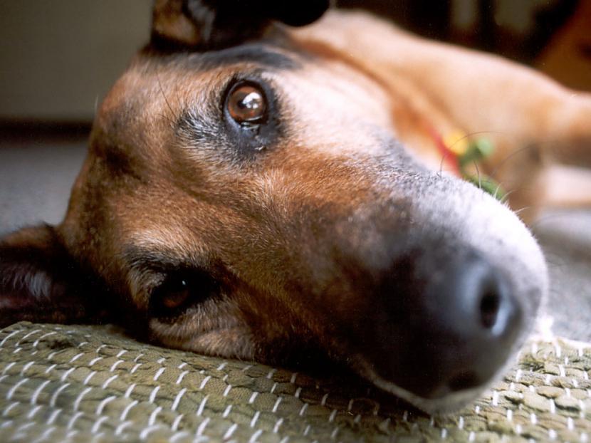 Kas ir suns Suns ir dzīvnieks... Autors: Tavs Sencis Apmācība - kā suns ar prieku sapratīs to, ko vēlas saim