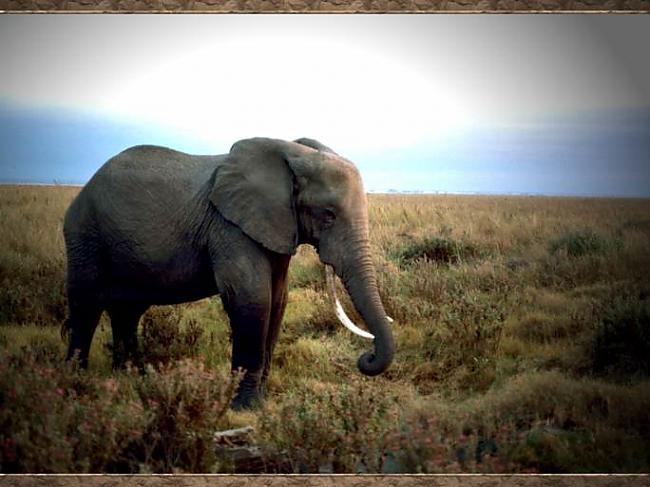Ilgie sausuma periodi un vides... Autors: Tavs Sencis Fakti par ziloņiem