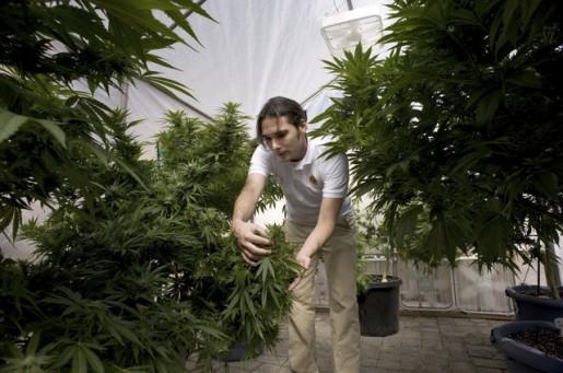 ASV kā arī citās valstīs... Autors: Tavs Sencis Medicīniskās marihuānas ražotne Kalifornijā