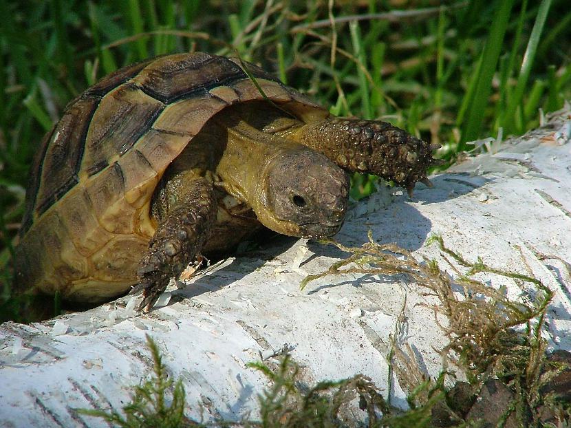 Daudzi bruņurupuči ir lieliski... Autors: 6luks Bruņurupuči
