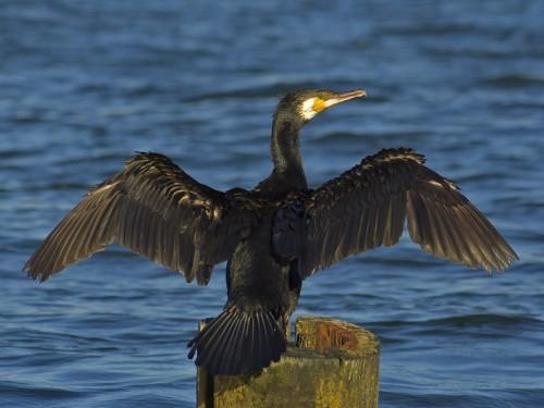 vairāk bilžu te gt... Autors: nauruha 2009. gada putns būs jūraskrauklis