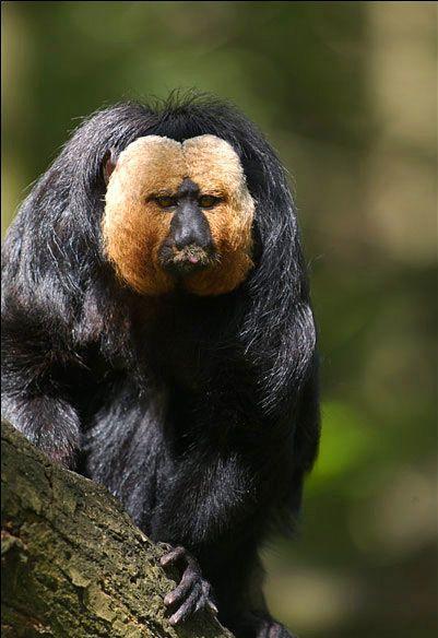 8 Baltsejainais saki pērtiķis... Autors: VinijsPūks 25 pasaules jocīgākie dzīvnieki