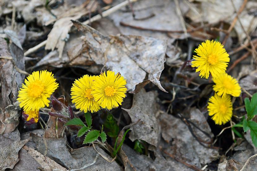Šogad ir ļoti daudz Māllēpju Autors: Liennucyc Pavasaris