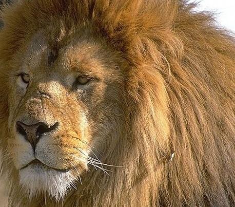 Lauvu kā jau zvēru karali... Autors: Fragma1 Ko dāvināt lauvām?