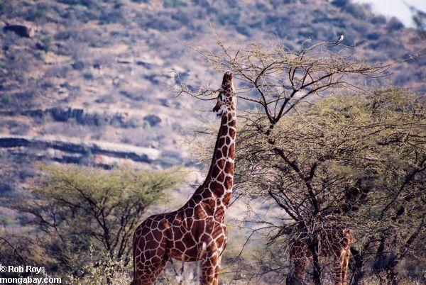 Čaks Noriss izgudroja žirafi... Autors: Kikitis Joki par Čaku Norisu