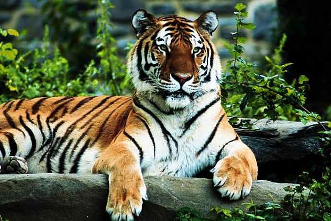 Tīģeriem arī āda ir strīpaina... Autors: Ļaunā minka Nedzirdēti fakti.