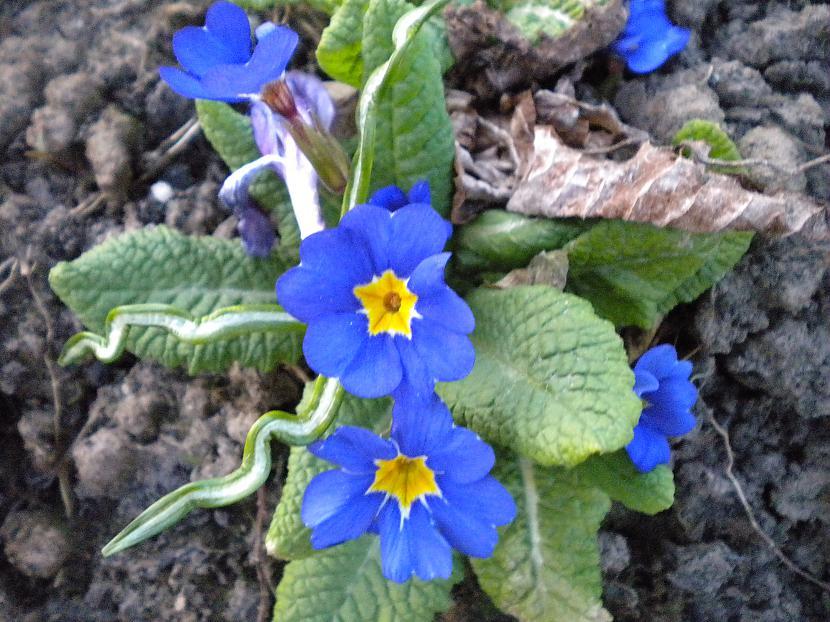 Zilās prīmulas Autors: Minelūše Daba pavasarī :)