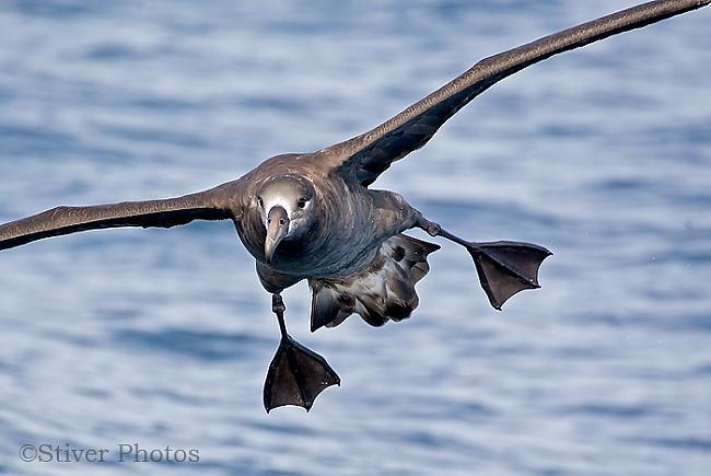 Albatross var gulēt un lidot... Autors: kaķūns bezjēdzīgi fakti 10.