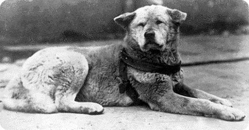 Pēc gada Šibujas stacijā tika... Autors: CrazyMaineCoonLover Hachiko: The World's Most Loyal Dog
