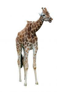 Žirafe var iztikt ilgāk bez... Autors: TripleH Ļoti interesanti fakti!