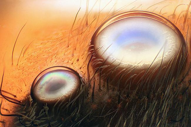 Zirnekļa acis Autors: peleejums Makro-spoks