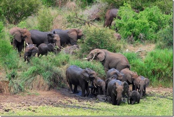 To pamanīja pārējie ziloņi un... Autors: SummerSound Bara instinkts dabā..